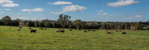Cattle near the village of Maimuru in the Hilltops Region
